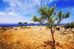 Young olive trees near Porto Roxa on Zakynthos island Stock Photography