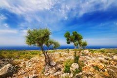 Young olive trees near Porto Roxa on Zakynthos island Stock Image