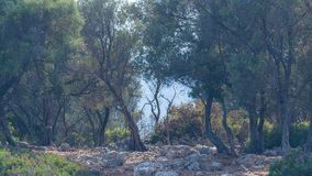 Olive thicket Royalty Free Stock Photo