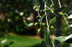Young Olives Stock Image