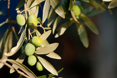 Young Olives On A Branch Royalty Free Stock Images