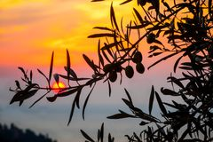 Young olives hang on tree at sunrise royalty free stock photography