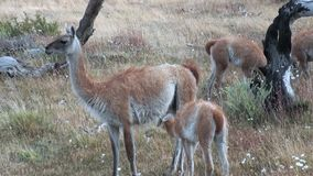 Young one Guanaco lama exotic mammal wild animal sucks milk in Patagonia. stock footage