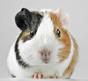 Young one guinea pig Stock Images