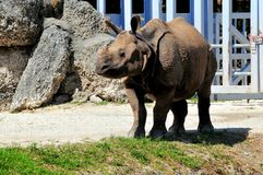 Young one-horned Asian rhinoceros in zoo Stock Photography