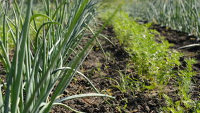 Young Onion and Carrot Plantation. Motorized Dolly shot. stock video footage