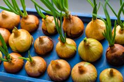 Young onion grows on a blue stand. Horizontal frame Stock Images