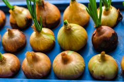 Young onion grows on a blue stand. Horizontal frame Royalty Free Stock Image
