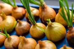 Young onion grows on a blue stand. On whole frame. Horizontal frame Stock Photos