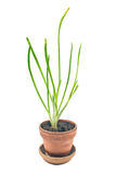 Young onion  plant in pot Stock Photo