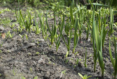 Young onion sprouts growing in the garden. Young onion sprouts growing in the garden Royalty Free Stock Images