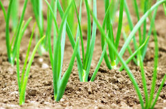 Young onions growing in rows in soil. Royalty Free Stock Photos