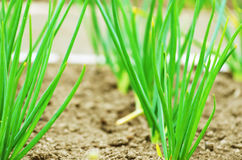 Young onions growing in rows in soil. Royalty Free Stock Photography