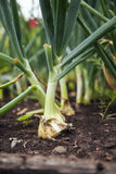 Young onions Royalty Free Stock Photography