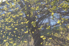Young opening leaves on a tree In spring. Closeup royalty free stock photography