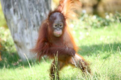 Young orang utan Royalty Free Stock Image