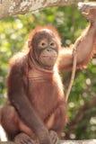 Young Orang-Utan. Cute young Orang-Utan in tree Stock Photos