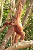 Young Orang-Utan. Cute young Orang-Utan on branch Royalty Free Stock Photography