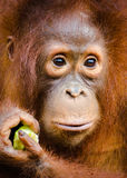 Young orang-utan close-up of face Royalty Free Stock Photos