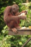 Young Orang-Utan eating. Young Orang-Utan on eating wooden platform Stock Image