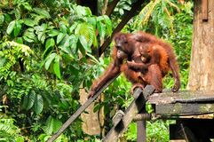 Young Orang-Utan and Mother Royalty Free Stock Image