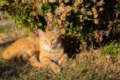Young orange cat laying on the background on the grass.  royalty free stock photos