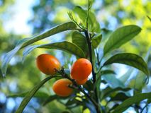 Young orange Fortunella fruits on a green branch, also called Kumquat stock photos