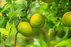 Young orange groves Royalty Free Stock Photography