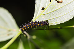 Young Orange Oakleaf caterpillar Stock Photos