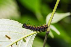Young Orange Oakleaf caterpillar Stock Images