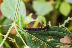 Young Orange Oakleaf caterpillar Royalty Free Stock Photo