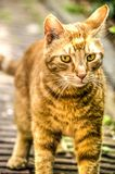 Young cat walking by. Young orange striped cat walking on a brick path royalty free stock image