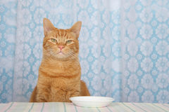 Young orange tabby cat sitting at kitchen counter with white pla. Te in front of him waiting for food expectantly, looking forward. White lace curtains over blue Stock Photos