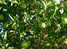 Young orange tree background Stock Photos