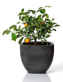 Young orange tree with a couple of oranges in a gray pot Stock Image