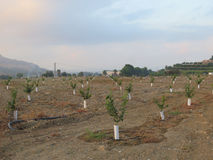 Young Orange Trees Stock Photography
