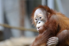 Young Orangutan Royalty Free Stock Image
