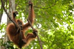 Young orangutan Royalty Free Stock Image