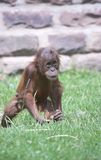 Young Orangutan. This image of a young Orangutan was captured at Chester Zoo, England, UK Royalty Free Stock Photography