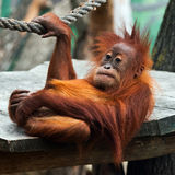 Young orangutan Stock Photos