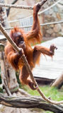 Young orangutan Stock Photo