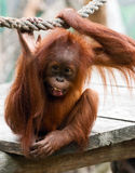 Young orangutan Royalty Free Stock Photos