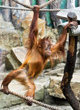 Young orangutan Stock Images