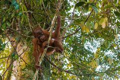 Young orangutan flexible playfully stood on the small tree at th. E time of the active games (Sumatra, Indonesia Royalty Free Stock Images