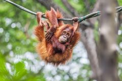 Young Orangutan swinging on a rope. Young Orangutan with funny pose swinging on a rope royalty free stock images