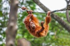 Young Orangutan swinging on a rope Stock Photo