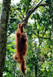 Young orangutan hang on the branch of the tree in the forest. Stock Photo