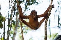 Young orangutan hanging flexible between two trees (Sumatra, Ind Stock Photography