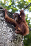 A young orangutan hangs onto a cable above its enclosure in Singapore Zoo in Singapore. Stock Images