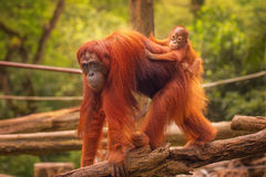 Free Young Orangutan Is Sleeping On Its Mother Royalty Free Stock Photo - 58720905